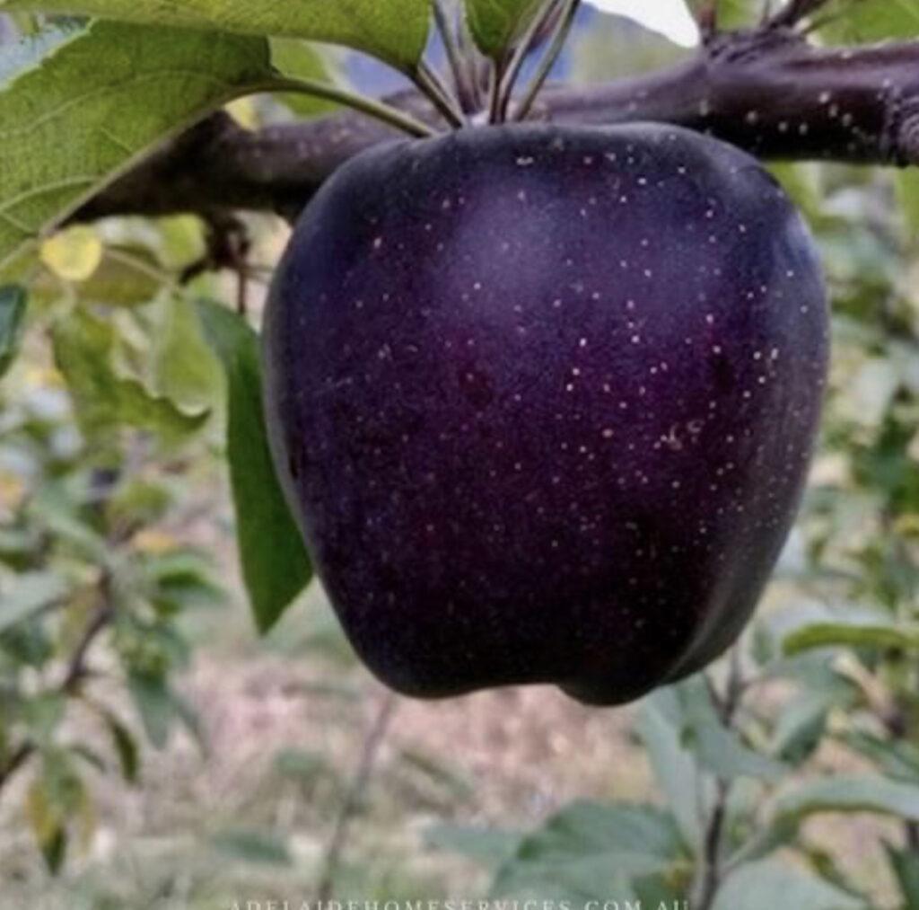 Tibetan apple
